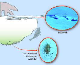 LifeLinkedtoIce Simple sea ice food web